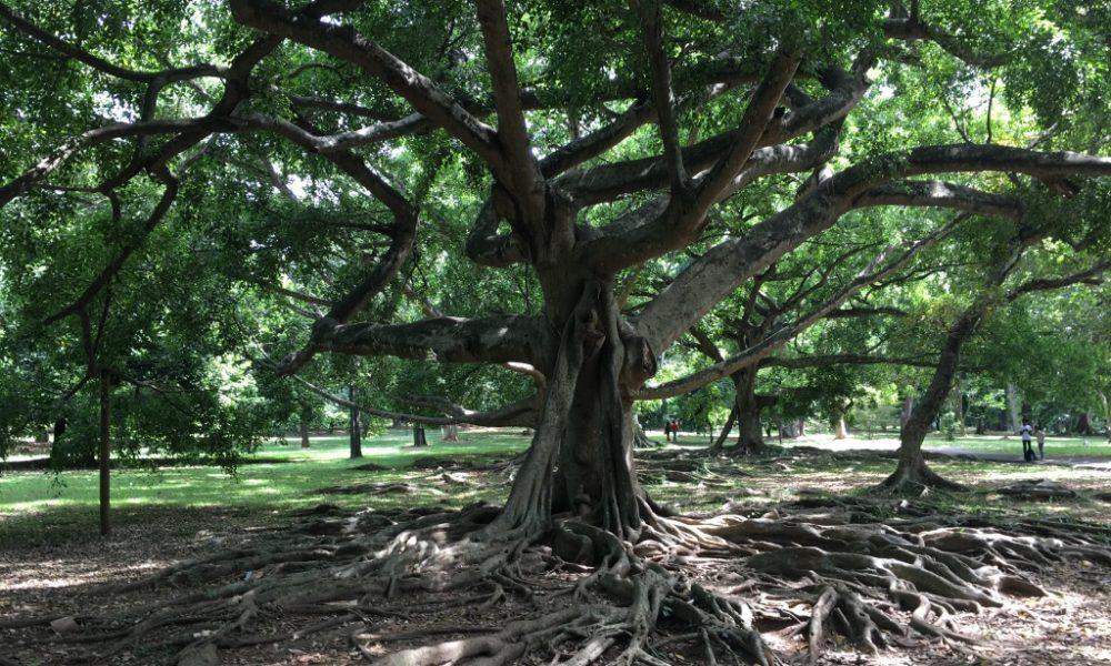 Шри-Ланка. Часть 4. Королевский ботанический сад Перадения, страдающий гигантоманией